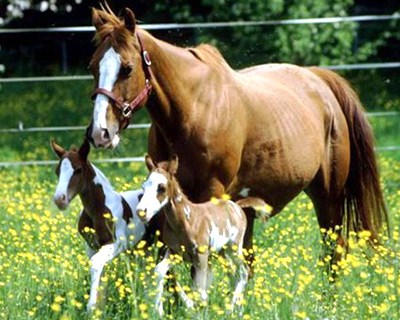 Рождение двойни у лошадей - большая редкость!