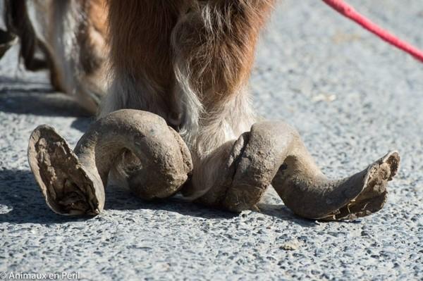 отросшие копыта у пони